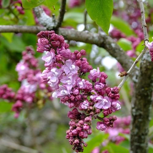 5ef66f66b604 Centennial Lilac Garden - Things to do